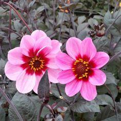 photinia serratifolia pink crispy: rare, étonnant, ce photinia