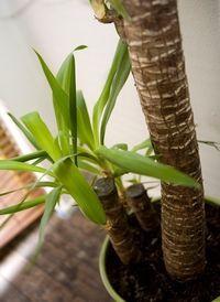 Yucca d'intérieur : en prendre soin