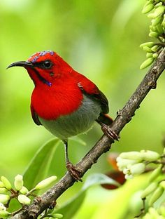The Temminck's Sunbird (Aethopyga temminckii) is a species of sunbird. It is found in up to 1800 m altitude in Borneo, Sumatra, Malaysia, and south west Thailand