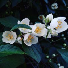 #flower #flowers #jasmine #ant #photo #nature #travel #цветы #кустарник #муравей #фото #природа #russia #moscow #msk http://misstagram.com/ipost/1551691363367824661/?code=BWItxLilK0V