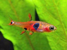 Bunter Räuber (Boraras naevus): Der Süßwasser-Bärbling ist in Südthailand zu Hause. Der ein bis zwei Zentimeter lange Raubfisch ernährt sich von Insekten, Würmern, Krebstieren und Zooplankton.