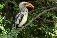 Large Pictures of Kruger National Park birds - South Africa600 x 400 | 94.6 KB | www.bugbog.com