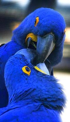 Hyacinth macaws, gorgeous parrots found in the amazon jungle in Perú