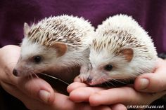 We are a USDA licensed breeder, located in Cleveland, GA. Our hedgehogs come from great bloodlines! They are friendly and socialized from a young age. Pedigrees are available upon request. Absolutely NO hedgehog sales in Georgia. Ask about discounts on m Hedgehog Day, Cute Hedgehog, Teacup Piglets, Mini Goats, Miniature Cattle, Mini Donkey, Dwarf Goats, Organic Beef, Pets For Sale