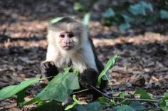 Sister (white faced capuchin) #Sister #Capuchin #NoahsArk www.noahs-ark.org
