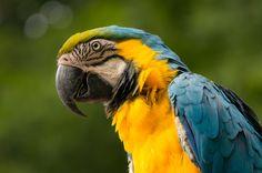 https://flic.kr/p/fUEKB1 | Gelbbrustara | Auf dem Foto sieht man, dass diesem Papagei die Flügel gestutzt wurden. So lebt er zwar nicht im Käfig, kann dafür aber nicht fliegen! Was wiegt schwerer....???