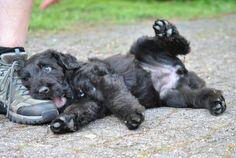 Russian black terrier puppy