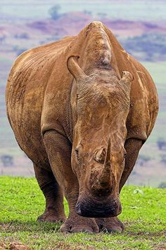 Rhinoceros - Tala Game Reserve, South Africa