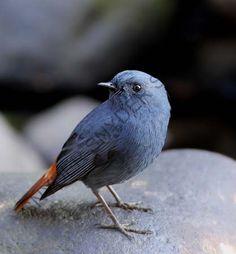 メジロチメドリ  Grey-cheeked Fulvetta (Alcippe morrisonia)