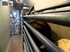 Massentierhaltung Schweine und Kühe (Die Ware Tier) Food Documentaries, Going Vegan, Movie