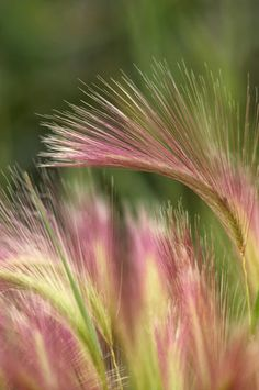 """Squirrel Tail Grass, Alaska"""