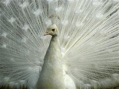 Albino Peacock | Albino Peacock