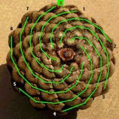 Fibonacci sequence in a pine cone