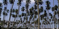 Manfaatkan Kelapa Menjadi Virgin Coconut Oil