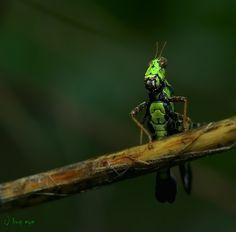 Monkey Grasshopper   by bug eye :) on 500px
