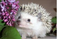 Handling Tips And Instructions for Hedgehogs
