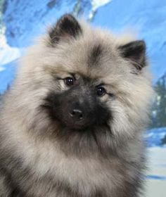 Remembering my adorable Keeshond, Nikita. Such a cute fuzzball but SUCH a barker!