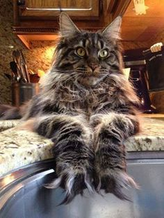 Want to know if Maine Coon Kittens are playful (They are very playful) and what traits they have before you adopt then look no further. I Love Cats, Crazy Cats, Cool Cats, Pretty Cats, Beautiful Cats, Kittens Cutest, Cats And Kittens, Grand Chat, Gato Grande