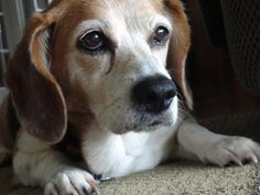 Even old, beagles are beautiful