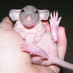 Hairless rat - OMG love the feet and the little hands....just wanna kiss that nose!!!