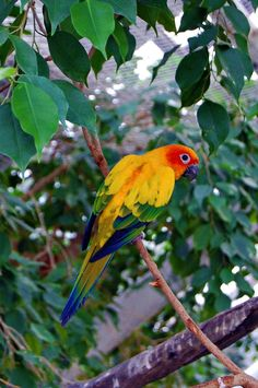 http://www.petcarevision.com/Parrot/conures.php