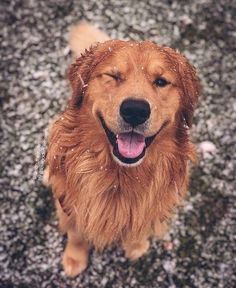 This sweet puppy golden retriever will brighten your day. Dogs are amazing companions. Golden Retrievers, Chien Golden Retriever, Perro Labrador Retriever, Retriever Puppy, Labrador Puppies, Corgi Puppies, Cute Teacup Puppies, Cute Dogs And Puppies, Doggies