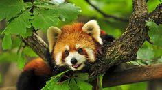 Red pandas are my favorite.