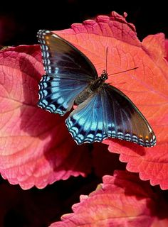 Blue Wings and Red Leaves, one of the many beautiful butterflies you may see at Cantigny Gardens in Wheaton , IL