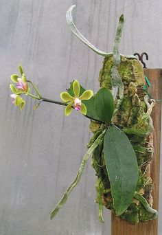 Moth-orchid: Phalaenopsis stobartiana - This is a miniature-sized, hot-growing epiphyte occuring at elevations of 800 to 900 meters in forests on tree trunks in Yunnan China. Orchid Roots, Moth Orchid, Orchid Plants, Wild Orchid, Orchid Leaves, Rare Orchids, Rare Flowers, Exotic Flowers, Amazing Flowers