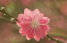 Обои картинки фото ветка, почки, цветок, розовый, сакура