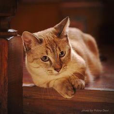 Kasper the munchkin cat. Каспер кот манчкин. #каспер #манчкин #кот #котэ #кошкатакса #миникот #питомниккошек #суперкот #безкотажизньнета #cat #munchkin #munchkincat #cattery #polinadeul #полинадеуль #фотографполинадеуль #няша #kot_gram