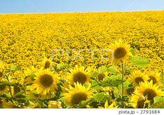 向日葵 画像 - Google 検索