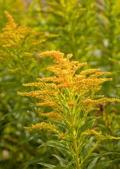 Solidage (Solidago canadensis), la plante des sinusites allergiques :ouvoir astringent. Les plantes astringentes contiennent des acides tanniques qui ont la propriété de « tanner » nos tissus et muqueuses. Lorsque la muqueuse est enflammée, rouge et enflée, les tannins vont resserrer les tissus, les rendre moins flasques, réduire l'arrivée de liquides et donc calmer le processus inflammatoire. Ensuite son pouvoir antiseptique urinaire.