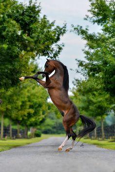 Hersheys REMEMBER ME  2013 ASPC National Classic Grand Senior Stallion
