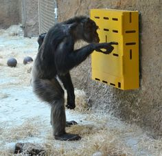 Enrichment for the Chimps at the Zoo Bratislava, my Majoránka
