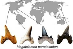 Megalolamna paradoxodonis the name of a new extinct shark named byan international research team thatbased itsdiscovery on fossilized teeth up to 4.5 centimeters (1.8 inches) tall found from the eastern and western United States (California and North Carolina), Peru and Japan.