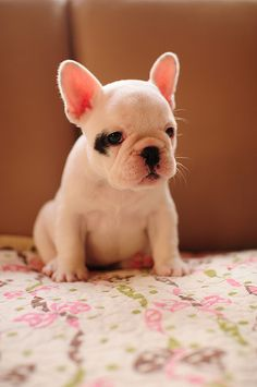 Baby Frenchie!