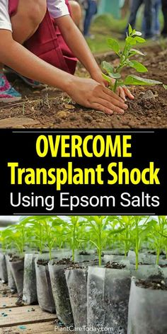 Using Epsom Salts To Help Overcome Transplant Shock is part of Organic vegetable garden - Plants often experience transplant shock when moving from a small container to a bigger one, use epsom salt to overcome transplant shock [LEARN MORE] Growing Plants, Growing Vegetables, Growing Fruit Trees, Fall Vegetables, Home Vegetable Garden, Veggie Gardens, Organic Gardening Tips, Herb Gardening, Urban Gardening