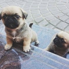 These Pug young puppies are 6 weeks old and ending up being more active every day! These Pug puppies are 6 weeks old and becoming more active every day! Cute Pug Puppies, Cute Puppy Breeds, Cute Pugs, Dogs And Puppies, Dog Breeds, Doggies, Pug Mix, Puggle Puppies, Cutest Puppy