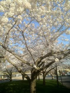 It's a lovely (and hot!) spring day on the NIH Bethesda campus with cherry blossoms in full bloom. irp.nih.gov