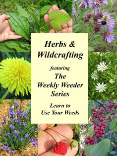 Herbs and Wildcrafting Featuring the Weekly Weeder Series @ common Sense Homesteading - Learn to Use Your Weeds