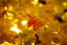 Individual colors make maples leaves a fall favorite