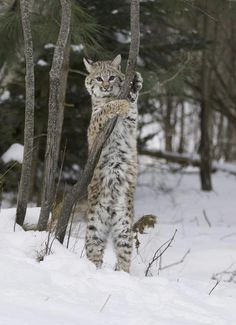 Bobcat. looks harmless. Bet he too wants someone to love... Don't bet on it!!!