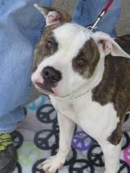 Dottie ID 114360 is an adoptable Pit Bull Terrier Dog in Newark, NJ. Dottie is a gorgeous medium sized Pit Bull mix. She is very smart, people focused and motivated to learn. She is also quite the at...
