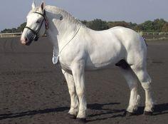 Boulonnais draft horse