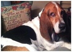 Vote for Zeke in the Belly Rubs Basset Rescue 2016 Calendar Contest.