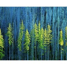 Blue Teal Forest Chartreuse Yellow Trees Cyan Aqua Spring Dark Woods... ($5.50) ❤ liked on Polyvore featuring home, home decor, wall art, aqua home decor, forest home decor, cottage home decor, key lime tree and teal blue home decor