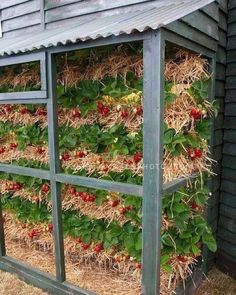 This puts the straw in strawberries:) I would put the straw bales in the chicken run for about three months to let them poop all over them then let them sit for another month and water them a little. When done they are ready for stacking and planting!  #homefarmideas #strawberries #strawberry #chickens #farm #gardening #farms #farmers #farming #farmlife #garden #gardens #gardening #mygarden #organic #organicfood #organicgardening #organics #grow #growth #growing #homestead #homesteading…