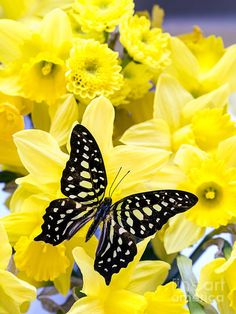 Butterfly Among The Daffodils
