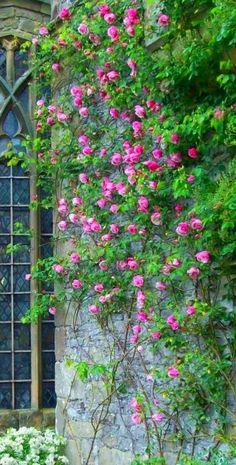 Roses climb the chapel walls at Haddon Hall   Pepper Basham, 2008